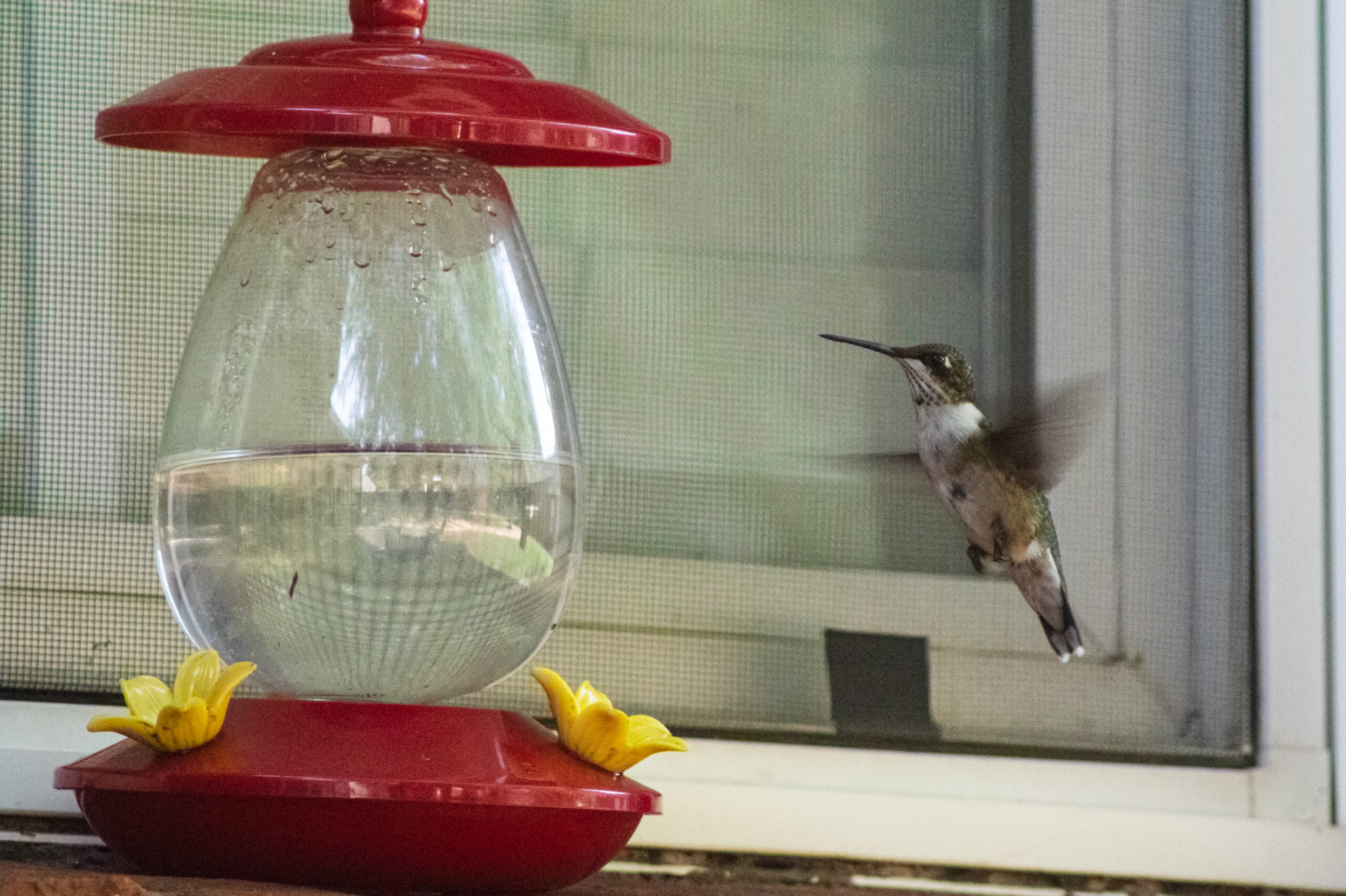 First Humming Bird Shoot